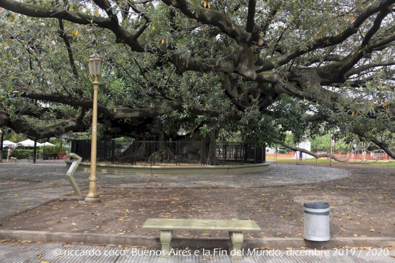 """Per la maggior parte degli abitanti di Buenos Aires il """"Gomero de la Recoleta"""" è l'albero più antico della città. Si trova nello spazio davanti la Basilica del Pilar e l'ingresso al famoso cimitero di Recoleta vicino a Plaza Francia. Alcuni dei suoi rami superano i trenta metri e sono sostenuti da apposite strutture in metallo nonché da una possente statua."""