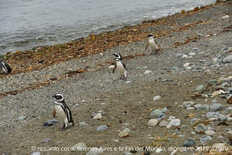 I pinguini dell'isola Magdalena
